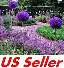 25 PCS Allium Giganteum Giant Allium Seeds B11, Ornamental Great Colors