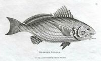 1803 Shaw SCARCE COPPER PLATE ENGRAVING Bearded sciaena EXCEPTIONAL Fish PRINT