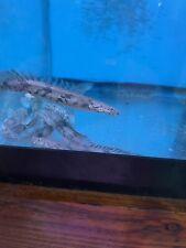"Endlicheri Bichir (Polypterus endlicheri) 3.5-4"" Live Aquarium Tropical Fish"