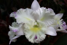 Cattleya Orchid Hybrid in Flower now. Fragrant Flowers, New Growth.