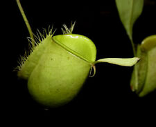 NEPENTHES AMPULLARIA GREEN - PIANTA CARNIVORA, 5 SEMI