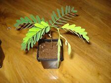 Tamarind Tree Tamarindus indica indoor ornamental Bonsai