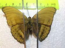 TOG30 A+/ A  Cymothoe egesta MALE Nymphalidae Charaxes  Papilio