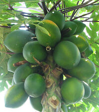 Carica papaya Coorg Honey Dew 15 seeds FREE SHIPPING