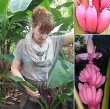 Rosa Zwergbanane - sehr schmackhaft! Freiland-Banane ! schnellwüchsiges Gemüse