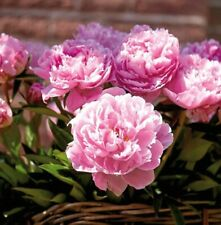 SARAH BERNHARDT PINK PEONY - Large Bare Root Tuber - HARDY PERENNIAL AGM PLANT