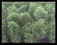 Arborvitae Thuja Emerald Green 4 inch pot (Lot of 30)