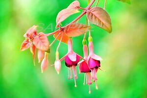 Beautiful Fuchsia Photo Printable Photograph