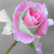 50 Stück Seltene Rosen-Blumen-Samen-Liebhaber-Pflanzen-Hausgarten 2 Farbe