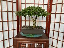 """Gmelina Bonsai Tree Nice Movement On 1"""" Trunk Great 1 1/2"""" Roots Exposure"""
