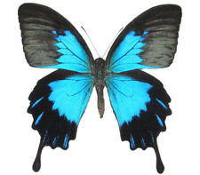 One Real Butterfly Blue Black Papilio Ulysses Telegonus Wings Closed Indonesia