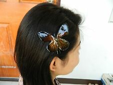 NW Real Butterfly Common Tiger Hair Clip Natural see true Brown Rare & Stunning!