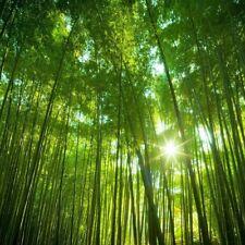 "100 semi di Phyllostachis pubescens  moso bamboo,Bambos moosoo""Bambù gigante"""