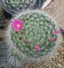 REAL FRESH Mammillaria bocasana 20 seeds rare cactus  succulent plant