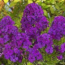30+ Violet Phlox / Fragrant Shade-Loving Perennial Flower Seeds