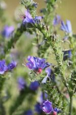 Vipers Bugloss Echium vulgare seeds Native Bee Insect Friendly Garden Biennial