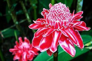 🔥 Madagascan CURCUMA MANGGA Turmeric Plant Roots Rhizomes Rare Flower TR08-03