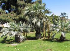 Mexican Blue Palm ( Brahea armata) , Blue Hesper Palm  6 SeedsMexican Blue Palm
