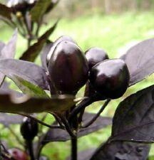 25 Black Pearl Ornamental Pepper Seeds Annual Spicy Seed Plant Garden Perennial