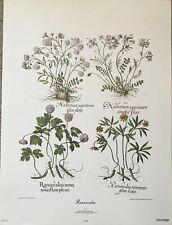 Ranunculus by Basilius Besler