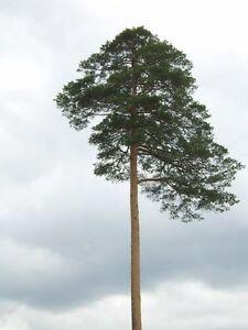 10 RED JAPANESE PINE TREE Korean Pinus Densiflora Evergreen Seeds *Flat S/H