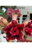 Succulent &cactus,Adenium obesum No4 Muang Sukda son,desert rose usa free ship