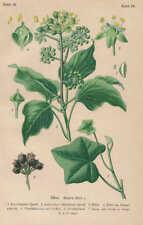 Hedera Helix - Efeu Giftpflanzen LITHOGRAPHIE von 1910 Giftpflanzen