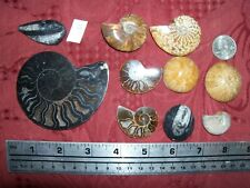 1/2 pound lbs Rare Black polished Ammonite, rainbow, urchin, Orthoceras fossil