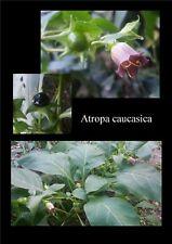 200 graines d'Atropa caucasica / belladonna / seeds / wicca / samen / belladone