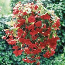 Begonia Illumination Rose - 20 seeds - Basket type