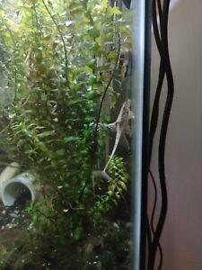 """Royal Farlowella - Twig Catfish - WYSIWYG 5""""+ Sucker Fish LIQUIDATION SALE"""