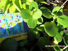 Succulent Crassula multicava Jade  Green cuttings x 2