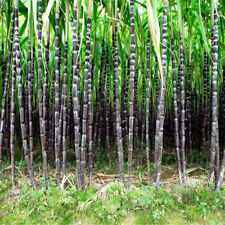 Good 50 Pcs Sugar-cane Seeds Rich In Sugar Fruit Seed For Garden Plant