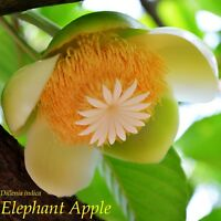 ~ELEPHANT APPLE~ Dillenia indica EXOTIC FRUIT TREE Live sml potd Plant 8-12+inch
