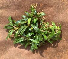 "Live Aquatic Plant | Bucephalandra sp. ""Kayu Lapis"" | 3"" portion"