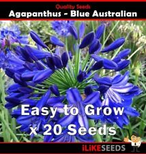 "Agapanthus ""Blue Australian"" 20 Seeds Minimum. Landscaping Garden Flower Plant."