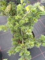 Pinus parviflora Fuku-zu-mi - zwergige Mädchenkiefer Fuku-zu-mi