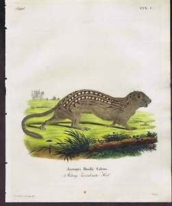 13 Lined Ground Squirrel - 1810 Natural History Print