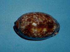Cypraea Arabica  New Caledonia   46,5 mm