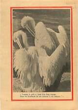 Pélican blanc Pelecanus onocrotalus Great white pelican Birds 1936 ILLUSTRATION