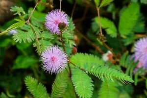 10 Mimosa Pudica / Sensitive Plant Seeds - Free Shipping