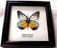 Collectible Taxidermy Real 1 Butterfly Insect Display in Wood Frame