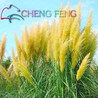 200 SEEDS ORNAMENTAL GRASS PAMPAS Seeds YELLOW Cortaderia selloana seeds