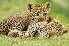 Poster Cheetah Cubs