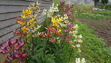 25+lot Mix Colors Hybrid Martagon Lily seeds,Turks Cap,hardy shade perennial