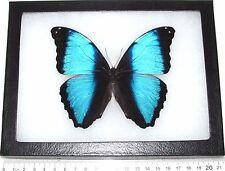 REAL FRAMED BUTTERFLY BLUE BLACK MORPHO DEIDAMIA PERU
