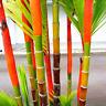 Lipstick Palm Cyrtostachys Renda Tree Red Sealing Wax Garden NEW Y 10 Pcs Seeds