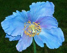 Blauer Schein-Mohn•20 Samen/seeds•Meconopsis Lingholm•winterhart•Himalayan Poppy