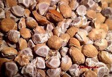 50 Graines Bio  Hawaiian Baby Woodrose  'Argyreia nervosa' Organic seeds