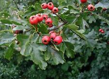 European Hawthorn - Crataegus Monogyna - 25 seeds - Tree - Hedging - Berries